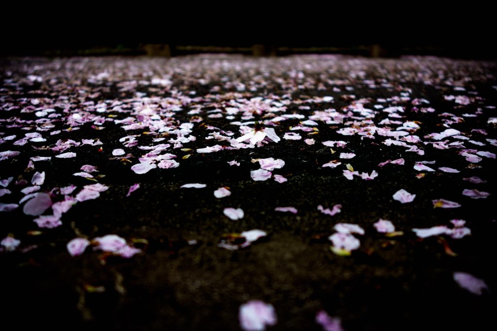 道路に散ってる桜