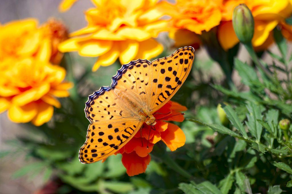 花の蜜を吸ってる蝶