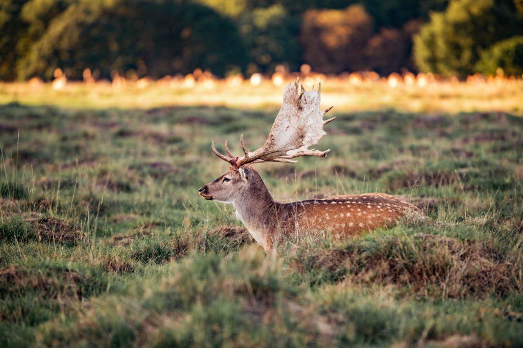 草原にいる鹿
