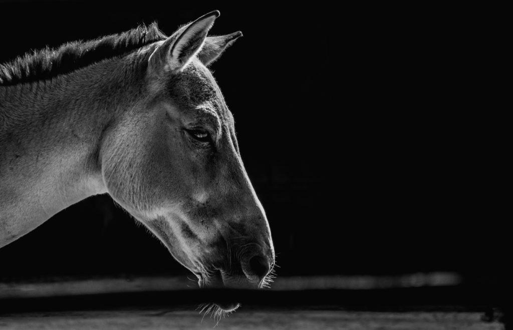 白黒写真の馬