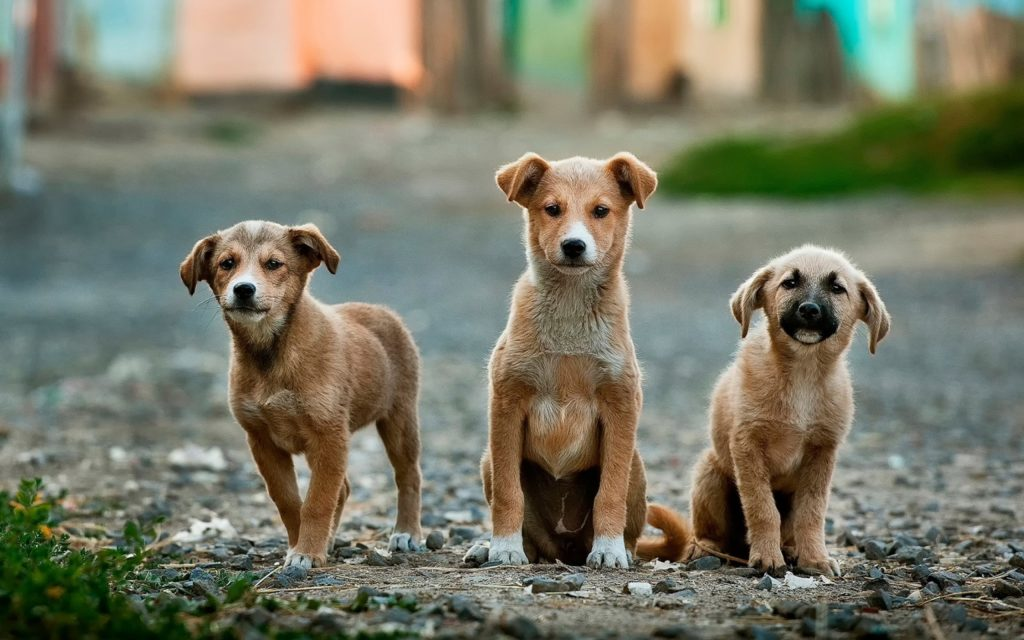 基本的にタイの犬はごっつい