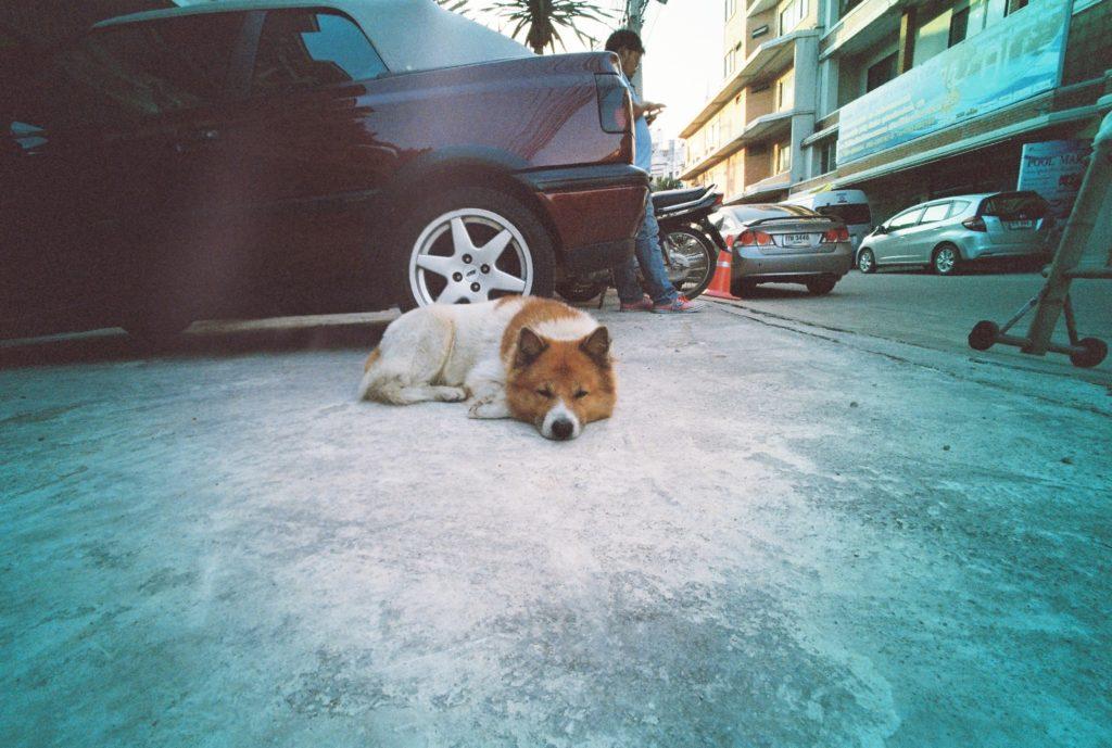 車の前で寝てる犬