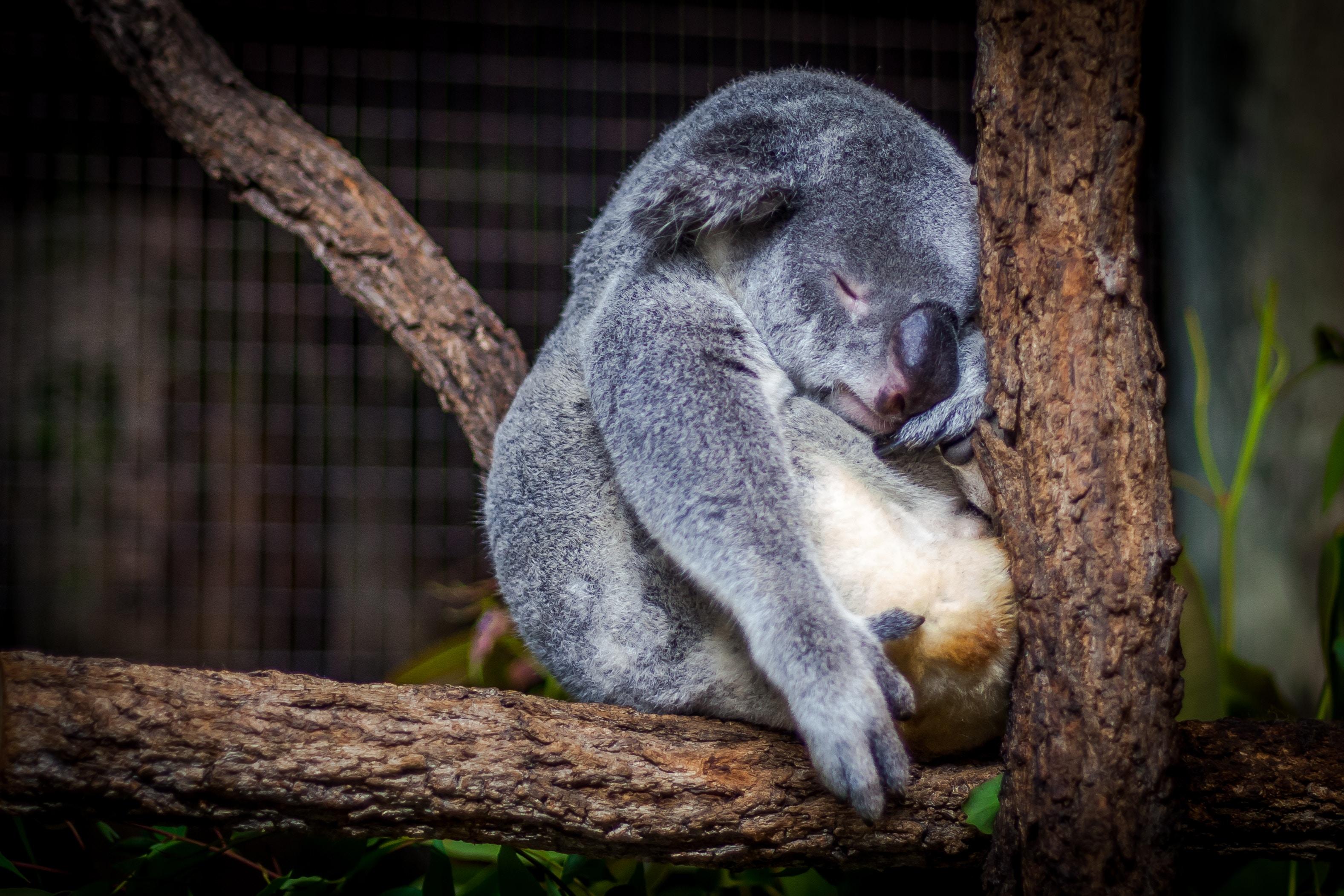 豪州のコアラが木の上で何かしてる