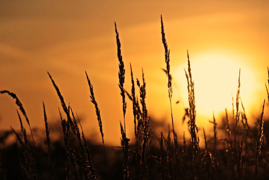 麦畑の背景は夕日