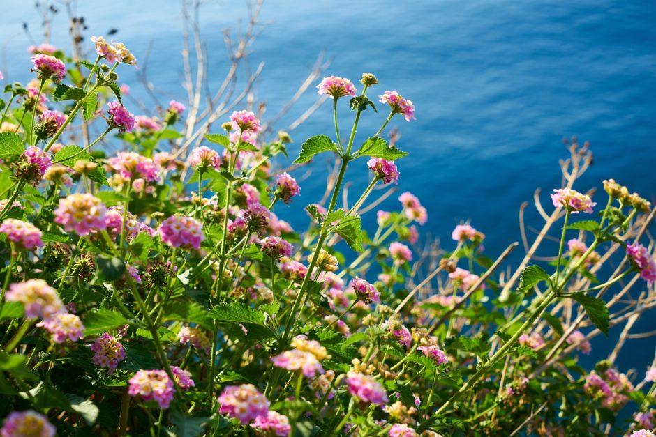 岬に咲く花