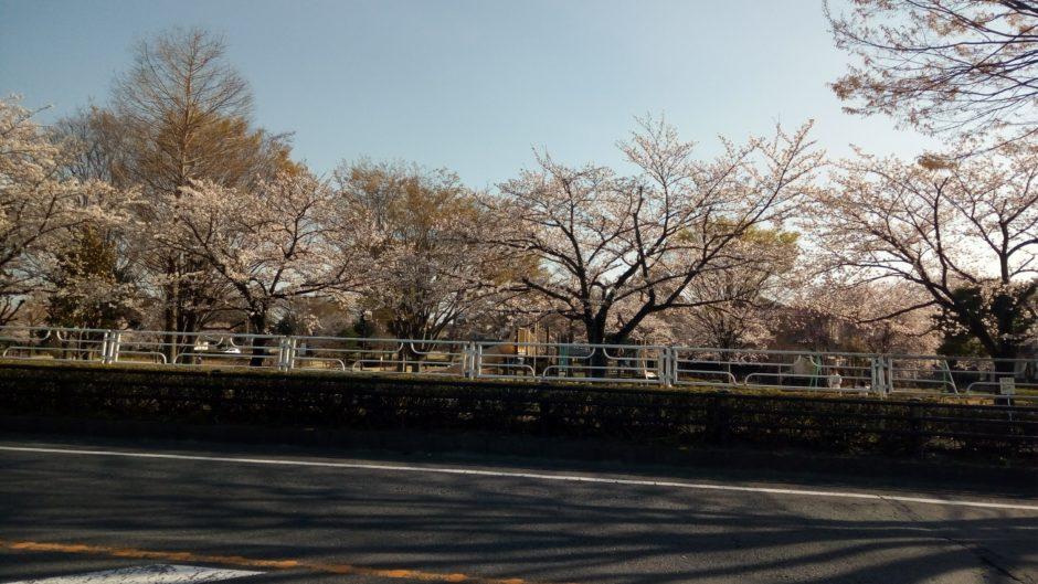 国道17号バイパスの桜