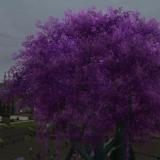 ラベンダーの木