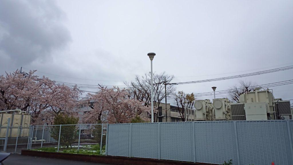 ケヤキの桜20年